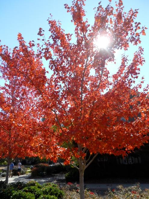 A tree in Ukiah, CA
