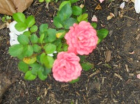 Norma's Roses